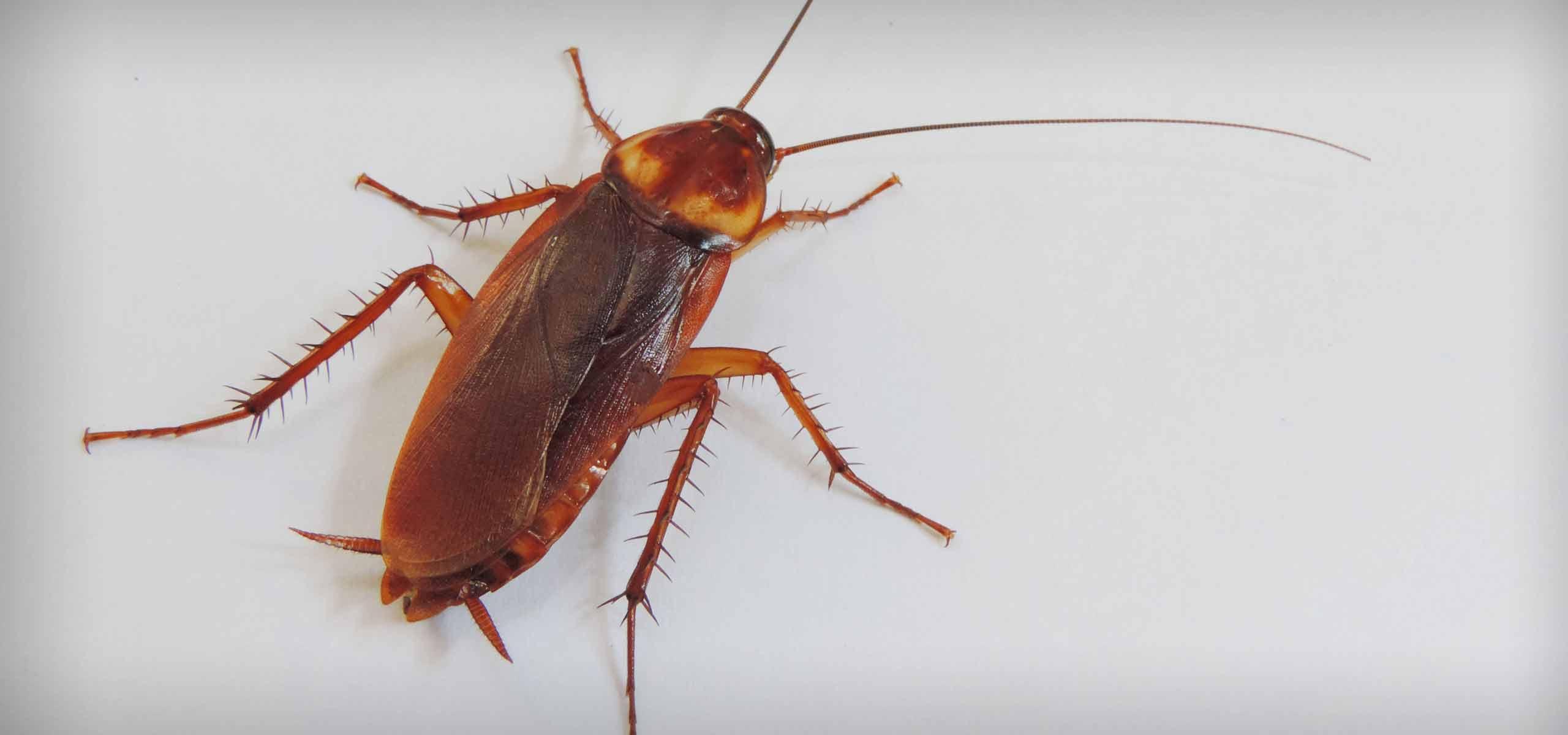 Roach Exterminator | Roach Control | Black Pest Prevention | Charlotte