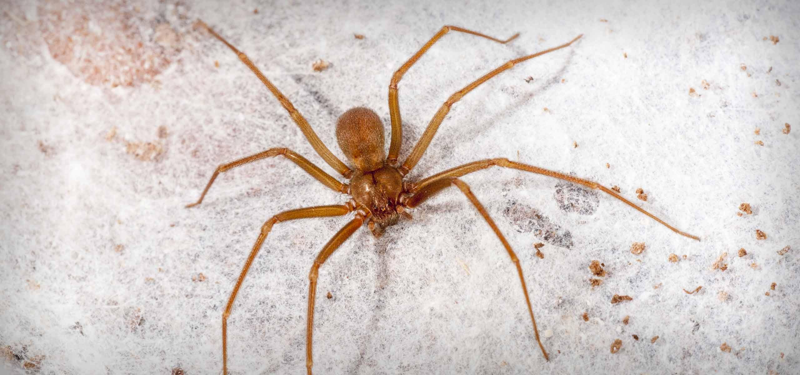 Spider Exterminator   Spider Control Services   Black Pest Prevention